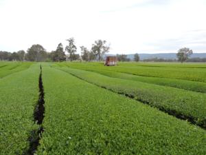 7 Trimmed tea bushes